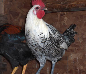 Silver Campine Rooster
