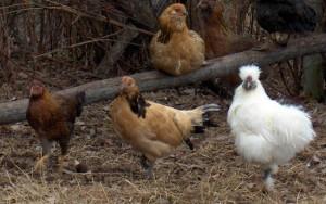 Golden Lakenvelder Hen