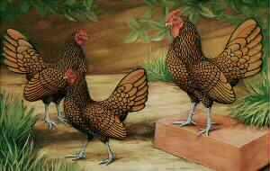 Golden Sebright Bantams